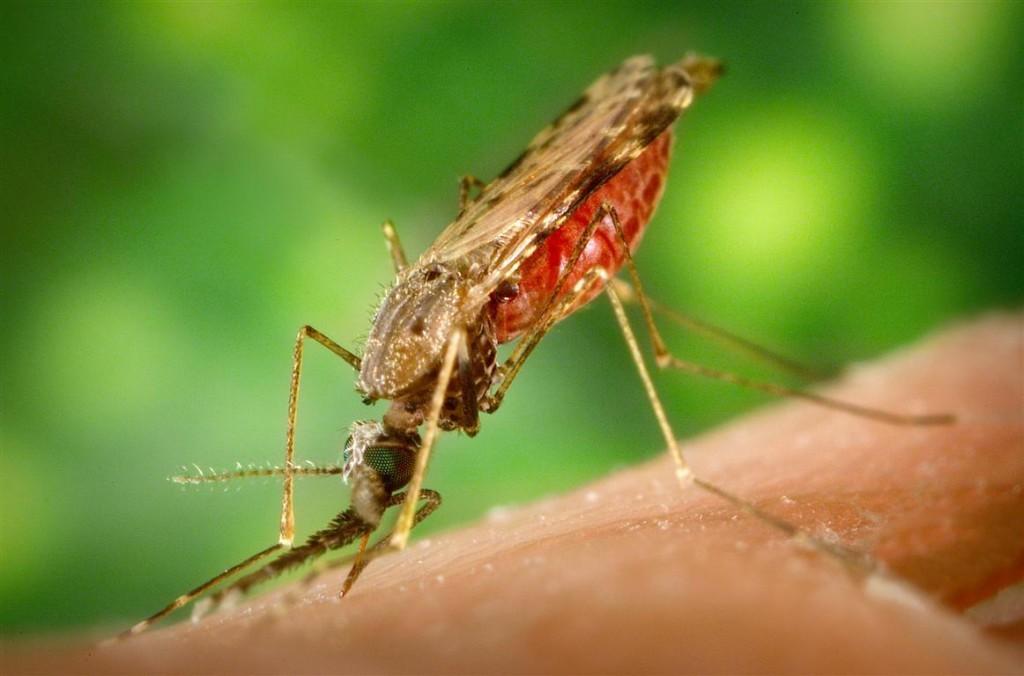 Female Anopheles albimanus mosquito