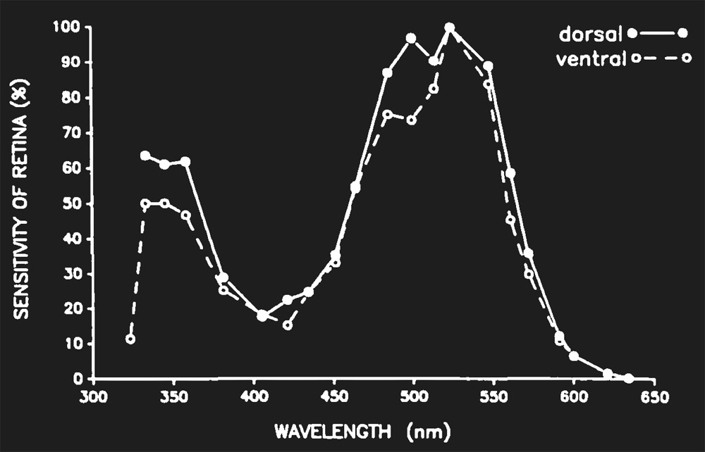 Figure 3. Spectral Sensitivity of the female Ae. aegypt (Muir et al (1993)